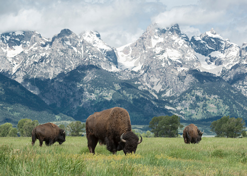 3 bison grazing in front of a tall mountain range